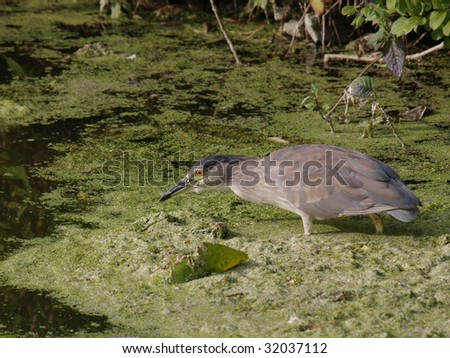a black crowned night heron searching for food
