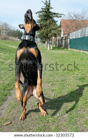 a black doberman jumping in the air with an open mouth - stock photo