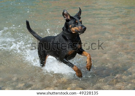 a black doberman running through the water at a river - stock photo