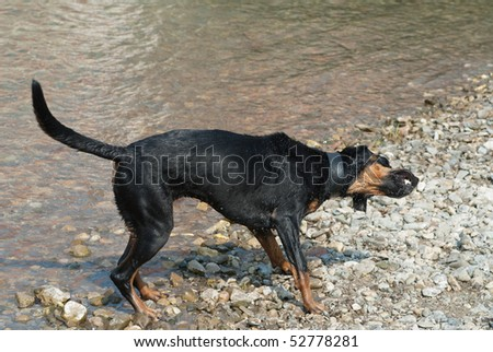 a black doberman shaking the water of its fur at the riverside - stock photo