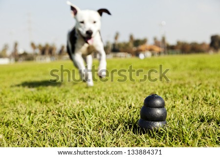 A black dog toy at the front of the frame, with a blurred Pit Bull running towards it from the distance. - stock photo