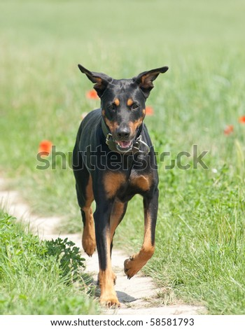 a black dog walking outside on a path in a park - stock photo