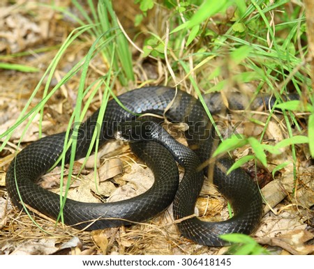 A black  eastern ratsnake outside in the summer in the Tidewater Virginia area among the ground clutter and foliage, *Note: The eastern ratsnake is the only 6+ foot snake found in Virginia.
