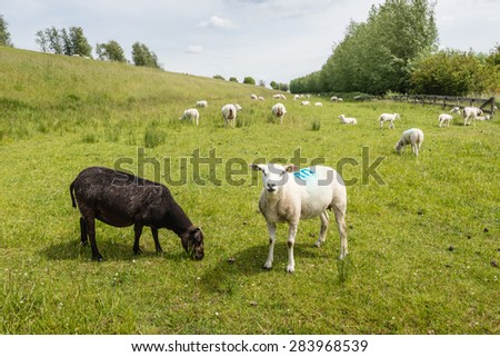 A black ewe grazing and a marked white sheep looking curiously to the photographer in a pasture next to an dike on a somewhat cloudy day in the spring season. - stock photo