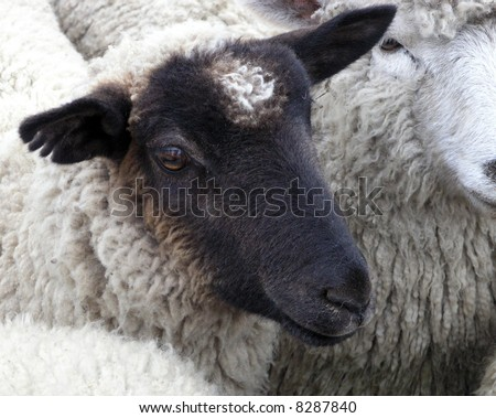A Black Faced Sheep with a White Mark on its Face