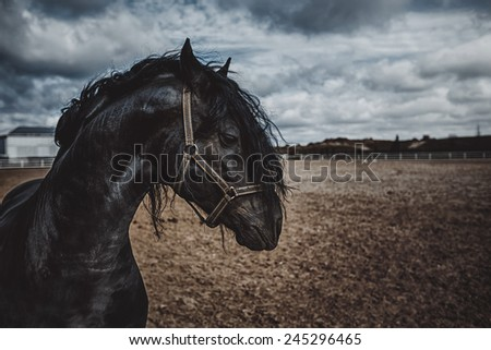 A black frisian horse in the open manege - stock photo