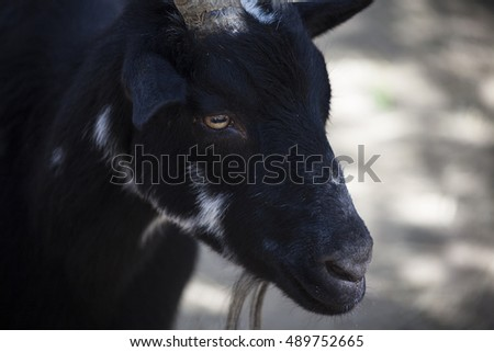 A black goat seeks shades in early morning sun.