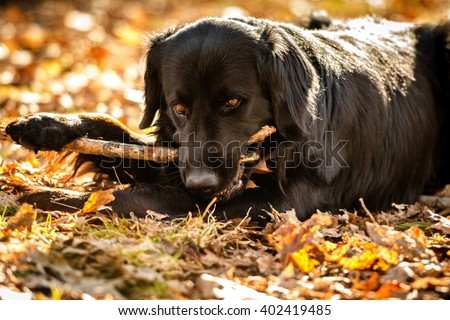 A black Golden retriever and Newfoundland mixed-breed dog looking alert after chewing up a stick. - stock photo