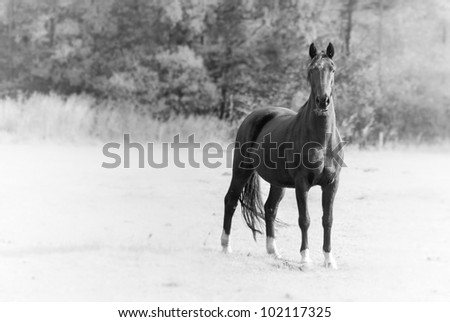 A black horse in a grass field standing strong