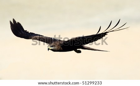 A black kite (Milvus migrans) in flight over the beach at Varkala, Kerala, India. - stock photo