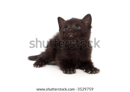 A black kitten looks up on a white background