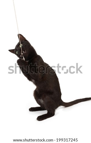A black kitten plays with a rope. - stock photo