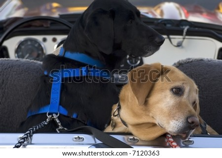 A black lab and a yellow lab in the back of a convertible - stock photo