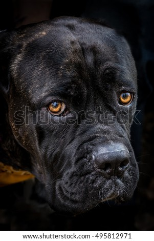 A black labrador mix with the focus on the eyes close up, with a shallow dept of field