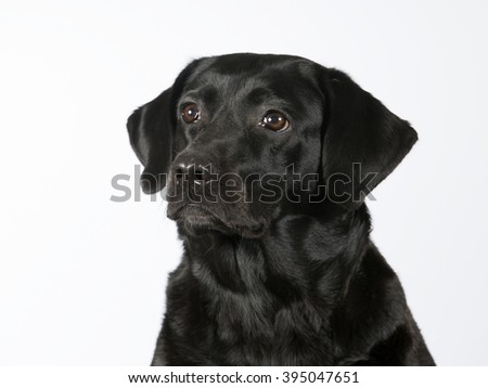 A black Labrador portrait. Image taken in a studio.