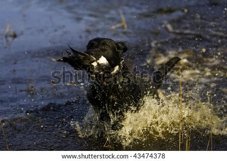 a black Labrador retriever dashes back to the hunter after retrieving a duck. - stock photo