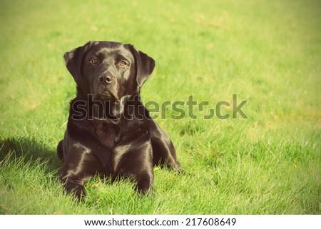 A Black Labrador Retriever Dog Resting Outdoors with Retro Effect - stock photo