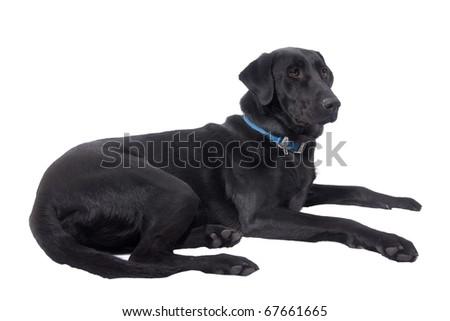 A Black Labrador Retriever isolated on white - stock photo