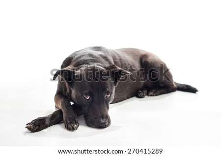 A black, mixed-breed, female dog lying down with a bored look on her face. According to DNA testing, she is a mix of Australian Shepherd, Beauceron and English Toy Spaniel, among other unknown breeds. - stock photo