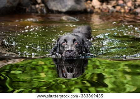 A black Newfoundland and Golden Retriever mixed-breed dog swimming in a lake. - stock photo