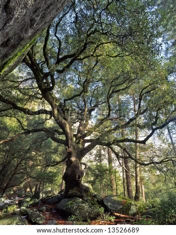 A black oak tree in Yosemite National Park, California. - stock photo