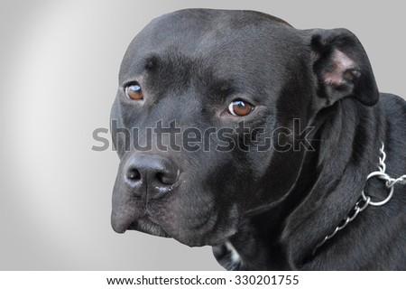 a black pitbull on neutral background - stock photo