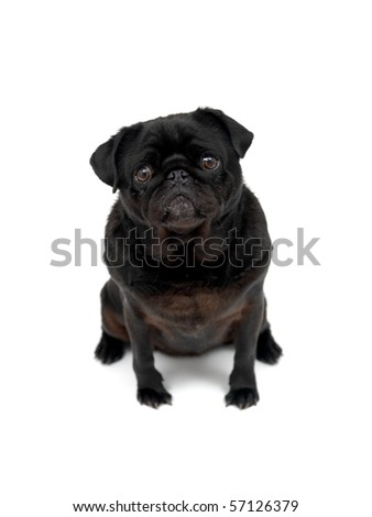 A black Pug isolated against a white background