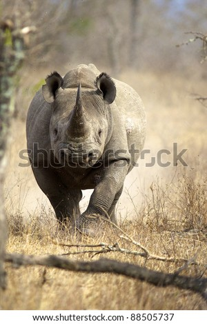 A Black Rhino running towards the camera, Kruger National Park - stock photo