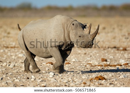 A black rhinoceros (Diceros bicornis) in natural habitat, Etosha National Park, Namibia