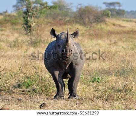 A Black Rhinoceros in the Kruger Park, South Africa, about to charge. - stock photo