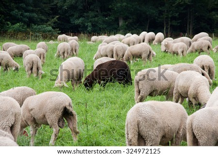 A black sheep among the white ones (An association with the proverb: a black sheep of the family) - stock photo