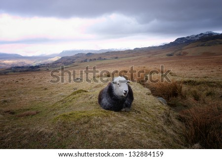 A black sheep with a white face sitting in the moors - stock photo