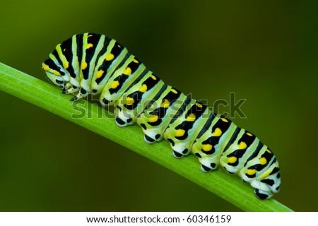 A black swallowtail larva on cilantro - stock photo