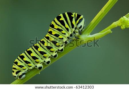 A black swallowtail larve on a celery stem - stock photo