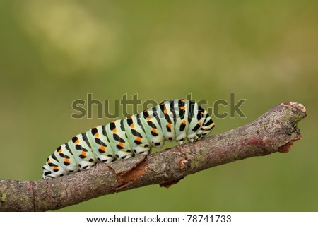 A black swallowtail larve (Papilio machaon) on a little piece of wood