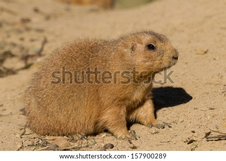 A Black-tailed prairie dog, Cynomys ludovicianus, sitting in the sand - stock photo