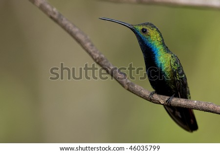 A Black-throated Mango (Hummingbird) perched on a thin twig, facing left - Argentina. - stock photo