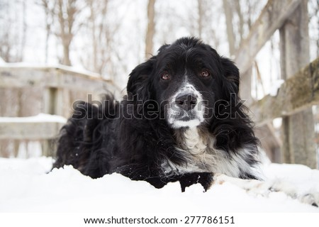 A black tri-colored Australian shepherd dog laying in the snow looking into the camera - stock photo