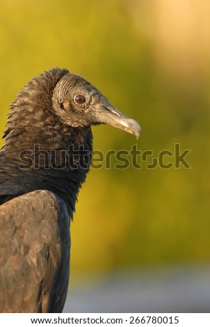 A black vulture portrait. Photographed in Everglades National Park in southern Florida. - stock photo