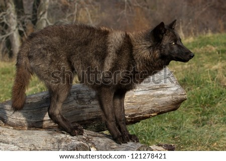 A Black Wolf on a log - stock photo