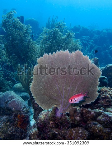 A Blackbar Soldierfish hiding under a fan coral in the tropical waters of Bonaire in the Caribbean