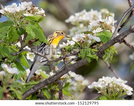 A blackburnian warbler looks over an apple blossom. Bright yellow with black stripes, the warbler stands out on from the green leaves and white blossoms. - stock photo
