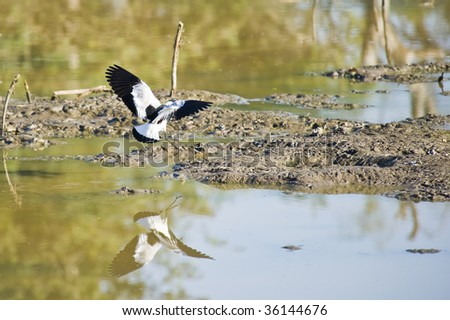 A Blacksmith Lapwing coming in for a landing. - stock photo
