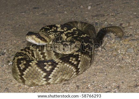 A blacktail rattlesnake on the road in Arizona. - stock photo