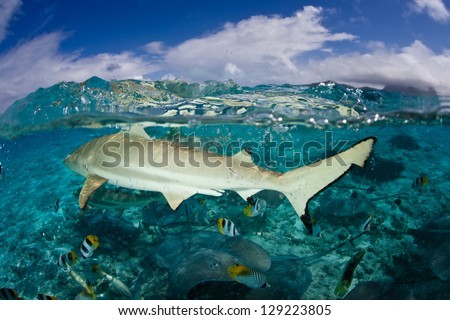 A Blacktip reef shark (Carcarhinus melanopterus) swims in shallow waters, excited by food in the water near a French Polynesian island. - stock photo
