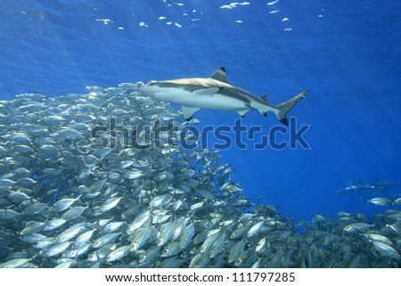A blacktip reef shark, Carcharhinus melanopterus, swimming above a school of fish with sunbeams slanting through the blue water background. Uepi, Solomon Islands. Solomon Sea, Pacific Ocean - stock photo