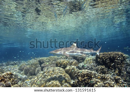 A Blacktip Reef Shark, Carcharhinus melanopterus, swimming over shallow coral reef. Uepi, Solomon Islands. Solomon Sea, Pacific Ocean - stock photo