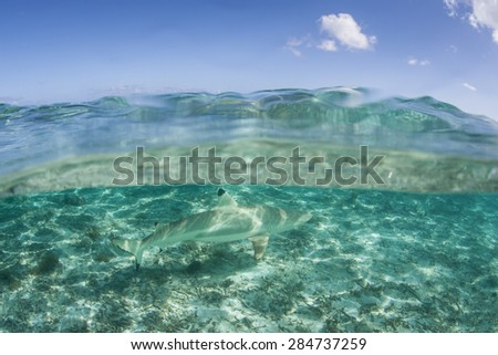 A Blacktip reef shark (Carcharhinus melanopterus) swims in the shallow lagoon of Bora Bora in French Polynesia. This small predator is relatively harmless and is a common species on Pacific reefs. - stock photo