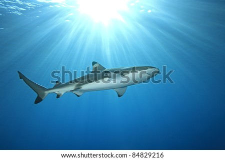a blacktip reef shark swimming in shallow water with sunbeams and a sunburst on the surface - stock photo