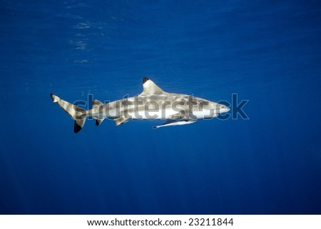 a blacktip reef shark swimming underwater with some surface reflections. There is a remora, or slender suckerfish attached below the shark's gills - stock photo
